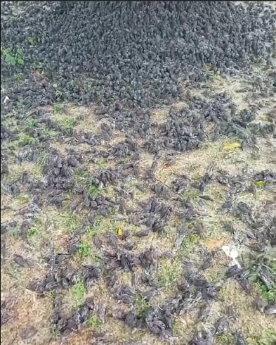 Viral video burung pipit di Bali jatuh berhamburan di tanah. Foto: Facebook/DenpasarNow Viral video burung pipit di Bali jatuh berhamburan di tanah. Foto: Facebook/DenpasarNow